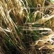 Følfod bliver klemt af den bredsået afgrøde