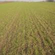 Hvede sået med stub-seeder